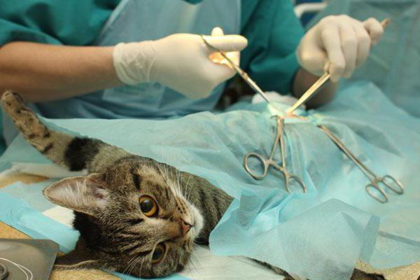 Сколько кот отходит от наркоза после кастрации и как долго