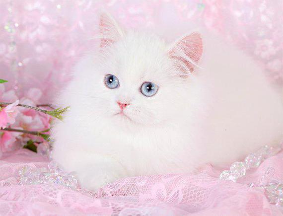 Кошки с приплюснутой мордой - описание пород