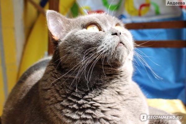 Биофел вакцина для кошек - как делать