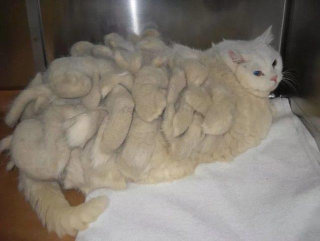 Колтуны у кошки - 8 причин появления и что делать