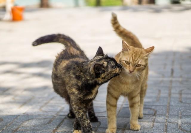Сколько дней гуляет кошка и как часто