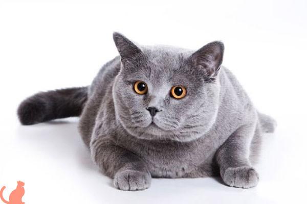 Можно ли стерилизовать кошку, если она не рожала