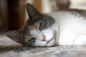 9 причин почему кот сопит, когда дышит - причины, что делать