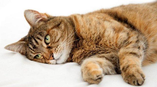 Дротаверин для кошек - как давать, дозировка