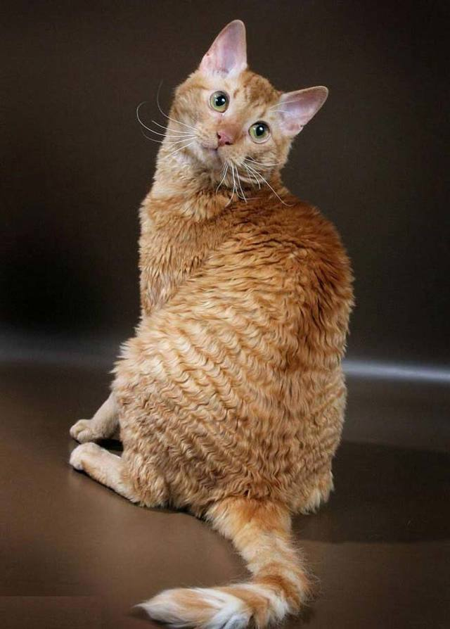 Кошка уральский рекс - фото, описание и характер породы