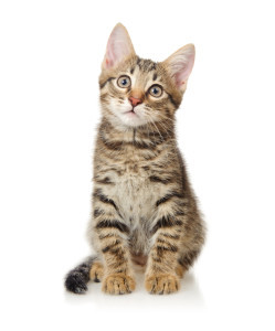Чем лечить отит у кошек - чем лечить
