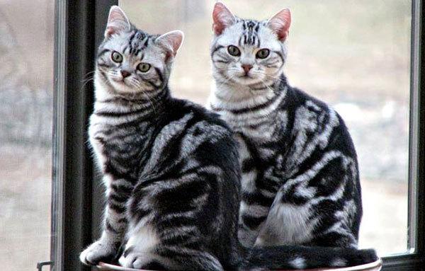 Короткошерстные породы кошек - список и описание пород