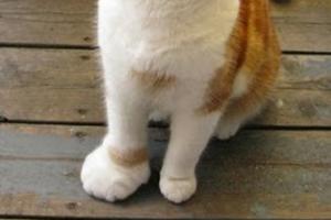 7 причин почему у кота опухла лапа - что делать