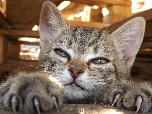Можно ли стричь когти кошкам - зачем нужно подстригать