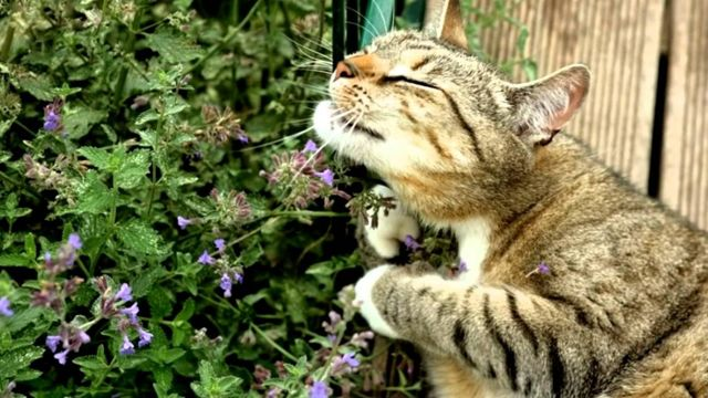 Сколько валерьянки можно дать кошке?