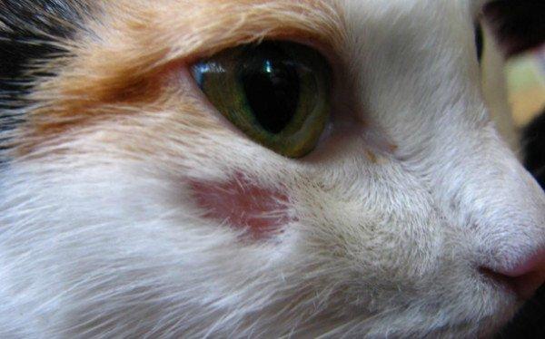 Причины почему у кота выпадает шерсть клоками и есть болячки на коже