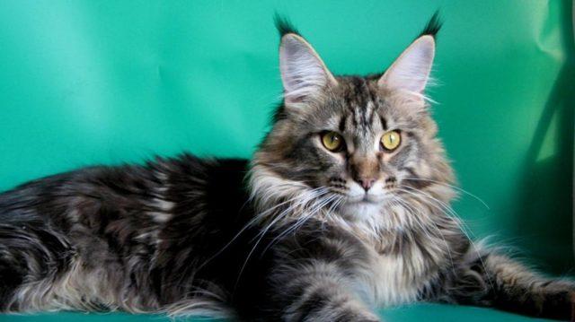 ТОП 16 самых ласковых пород кошек