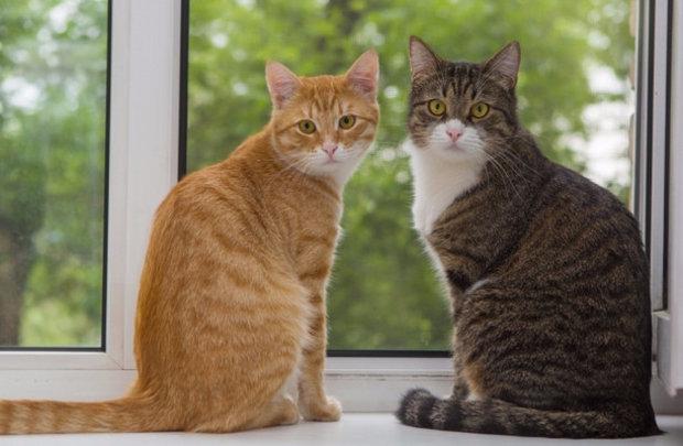 Как подружить двух кошек в одной квартире друг к другу
