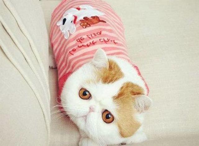 Кот Снупи - фото, характеристики, описание породы