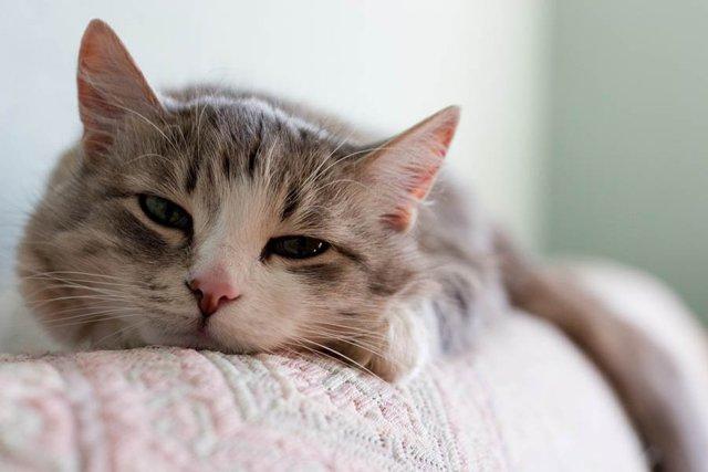 Ацилок для кошек: инструкция по применению
