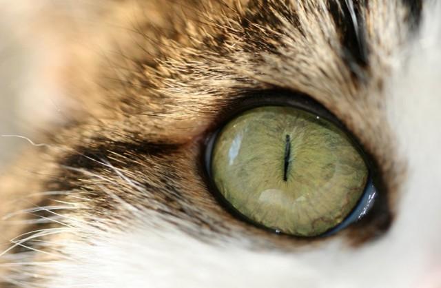 Воспаление глаз у кошек - что делть, чем лечить