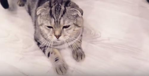 Как и чем промыть уши кошке?