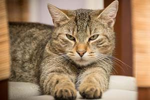 Ронколейкин для кошек - инструкция по применению