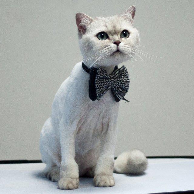 Стрижки кошек - фото, виды и описание