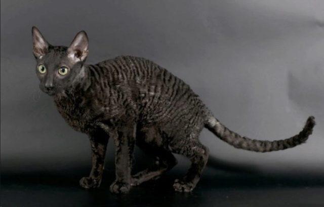 Кудрявые кошки - характеристика и описание пород