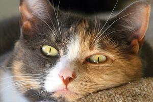5 причин почему у кота за ухом шишка - что делать