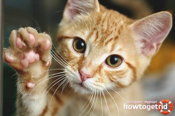 Как научить кота давать лапу - основные правила дрессировки
