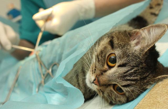 Рак у кошек: симптомы и что делать