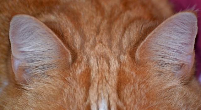 Как и чем чистить уши котенку в домашних условиях