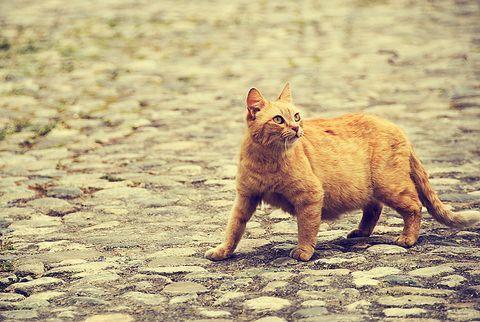 Как кошки находят дорогу домой