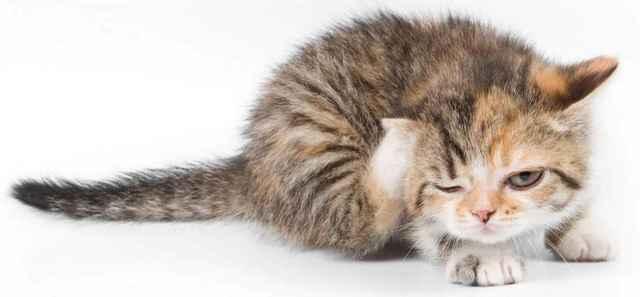 Чесотка у кошек: симптомы и лечение