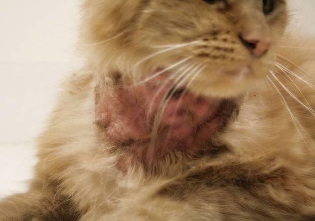 У кота на хвосте болячки - причины, симптомы заболеваний