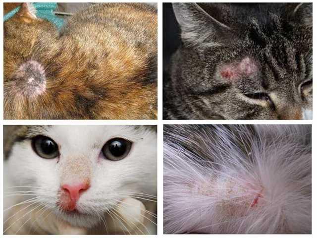 Лишай от кошки у человека - фото, лечение, профилактика