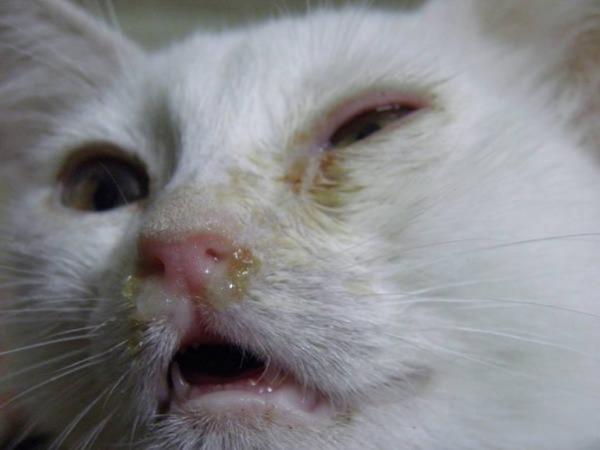 7 причин, почему кошка чихает кровью - что делать