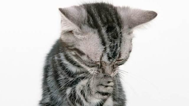 Кот чихает - причины и лечение