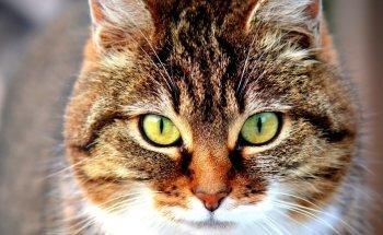 cерения для кошек - инструкция по применению, дозировка