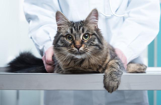 Панлейкопения у кошек - опасность для человека