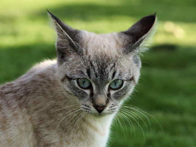 6 признаков дисплазии у кошек - симптомы, лечение, причины