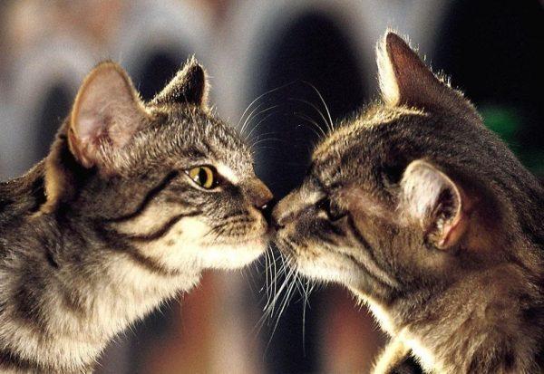 Кошка не подпускает кота - что делать, причины