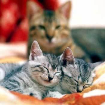 До скольки лет рожают кошки?