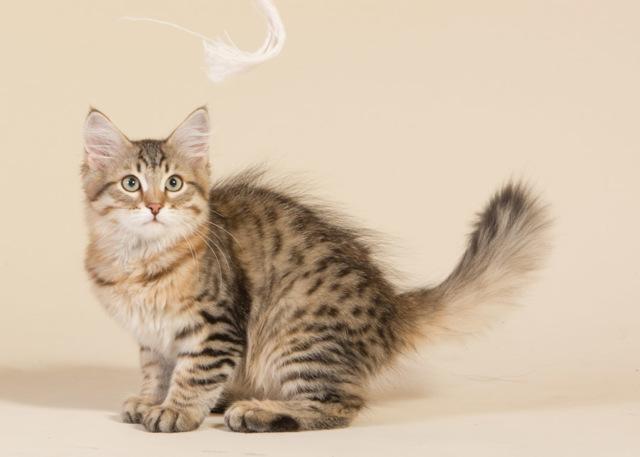 Нужно ли стерилизовать кошку и в каком возрасте
