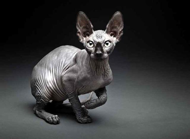 ТОП 11 интересных фактов о кошках сфинксах