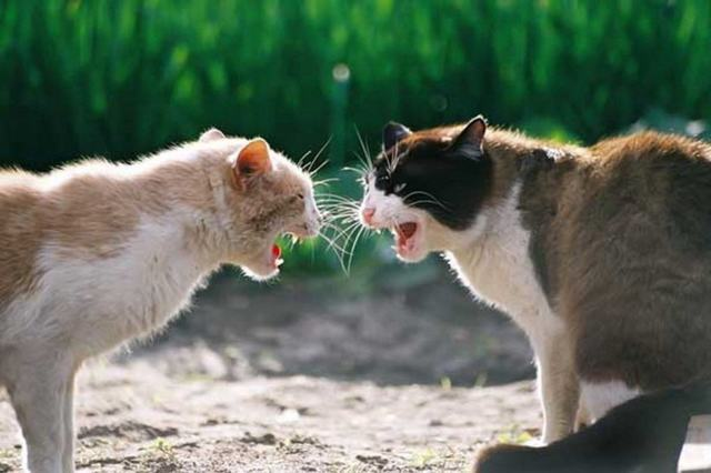 6 причин почему кошка шипит на человека