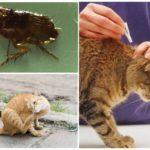 Народные средства от блох у кошек - как вывести паразитов?