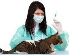 Комплексная прививка для кошек - что входит?