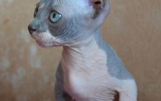 Порода кошек бамбино - описание, и характер