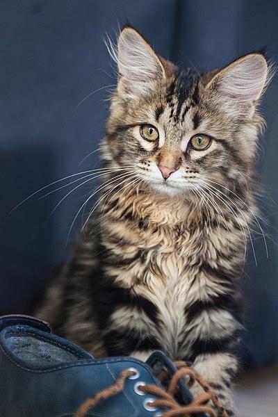 Полосатый котенок - фото, описание и название породы