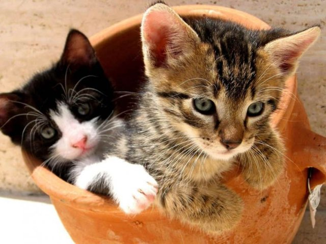 Болезнь от кошек токсоплазмоз - симптомы, причины, лечение