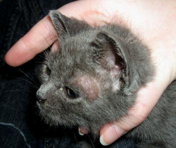 6 причин почему у кошки выпадает шерсть - заболевания кожи