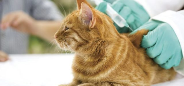 Сколько стоит прививка от бешенства кошке - цени на вакцины?