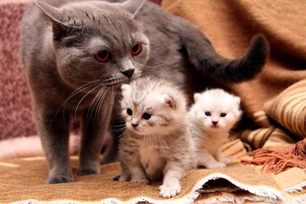 Чем кормить кошку после родов - рацион кормящей кошки